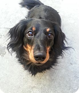 Dachshund Dog for adoption in Chicago, Illinois - Sugar*ADOPTED!*