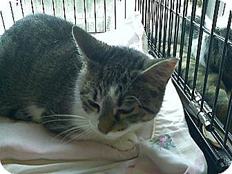 Domestic Shorthair Cat for adoption in Toronto, Ontario - Beauty