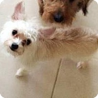 Adopt A Pet :: Jules - Lancaster, TX