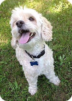 Cockapoo Dog for adoption in Woodinville, Washington - Cody