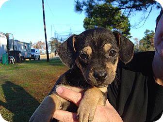 Dachshund Mix Puppy for adoption in Texarkana, Texas - GirlyG ADOPTED TX