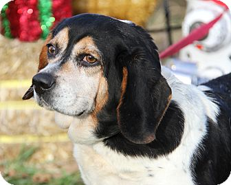 Beagle Mix Dog for adoption in Marietta, Ohio - Jemma