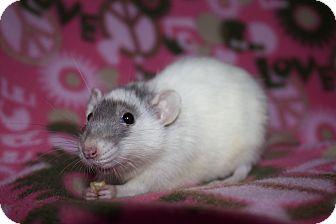 Rat for adoption in Columbia, South Carolina - Ginny