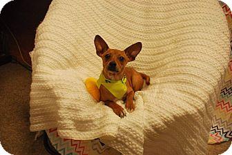 Chihuahua Mix Puppy for adoption in Olympia, Washington - Cheeto