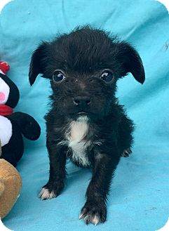 Cairn Terrier/Poodle (Miniature) Mix Puppy for adoption in Santa Ana, California - Twix (V)