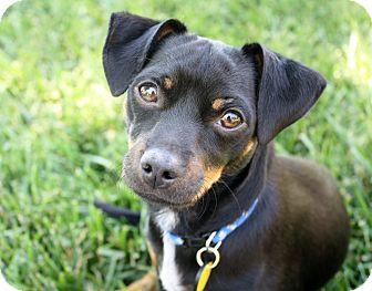 Dachshund/Miniature Pinscher Mix Dog for adoption in Bellflower, California - Ozzie