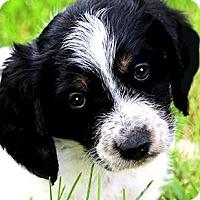 Adopt A Pet :: DYLAN(PETIT BASSET GRIFFON