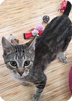 Domestic Shorthair Cat for adoption in Buhl, Idaho - Duncan