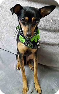 Miniature Pinscher Mix Dog for adoption in Gahanna, Ohio - ADOPTED!!!   Bebe