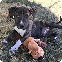 Adopt A Pet :: Simon - Tumwater, WA