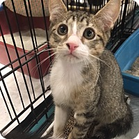 Domestic Shorthair Kitten for adoption in Boynton Beach, Florida - Mitch