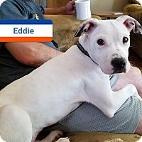 Adopt A Pet :: Eddie - Flossmoor, IL