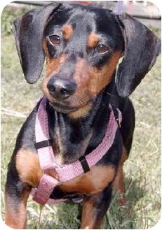 Dachshund Dog for adoption in Grass Valley, California - Fritz