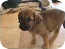 Labrador Retriever/Rottweiler Mix Puppy for adoption in Broomfield, Colorado - SKEETER