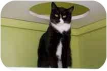 Domestic Shorthair Cat for adoption in Marietta, Georgia - Mischa