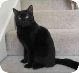 Domestic Shorthair Cat for adoption in Sacramento, California - Nix