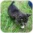 Photo 1 - Domestic Shorthair Kitten for adoption in Aldie, Virginia - Boogie and Dash