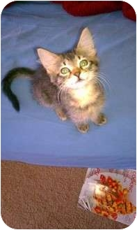 Domestic Mediumhair Kitten for adoption in Tampa, Florida - Lolly