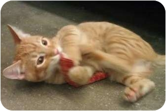 Domestic Shorthair Cat for adoption in Greenville, South Carolina - Tiger