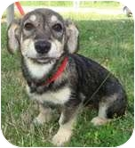 Miniature Schnauzer/Wirehaired Fox Terrier Mix Puppy for adoption in Foster, Rhode Island - Bella