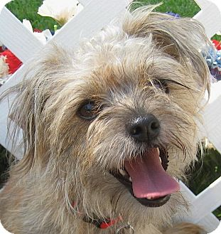 Yorkie, Yorkshire Terrier Mix Dog for adoption in Kingwood, Texas - Birdie