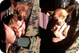 Chihuahua Dog for adoption in Valley Village, California - Bambi