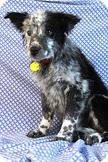 Australian Shepherd/Blue Heeler Mix Puppy for adoption in Westminster, Colorado - Palau
