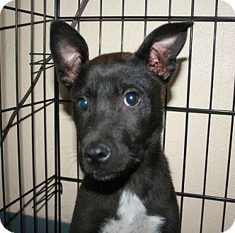 Terrier (Unknown Type, Medium) Mix Puppy for adoption in San Antonio, Texas - Grace