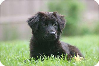 Labrador Retriever Mix Puppy for adoption in Naugatuck, Connecticut - Susannah