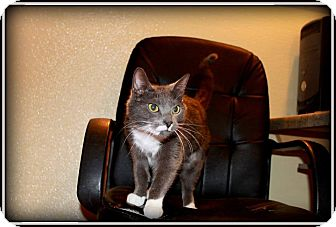 Domestic Shorthair Cat for adoption in tama, Iowa - Mittens