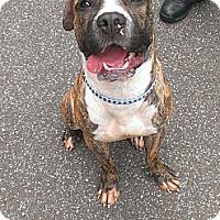 Adopt A Pet :: Hobbes - Berlin, CT