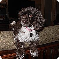 Adopt A Pet :: Coco Puff - Sugarland, TX