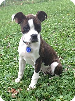 Boston Terrier Puppy for adoption in Jackson, Tennessee - Piper