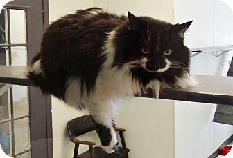 Maine Coon Cat for adoption in Martinsville, Indiana - Oreo