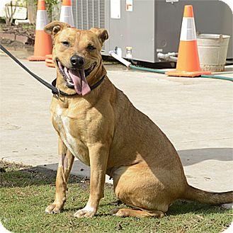 Pit Bull Terrier/Labrador Retriever Mix Dog for adoption in Stillwater, Oklahoma - Nesha