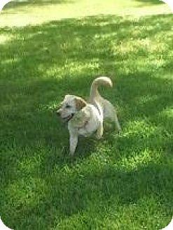 Corgi/Labrador Retriever Mix Dog for adoption in Rayville, Louisiana - Peggy Sue