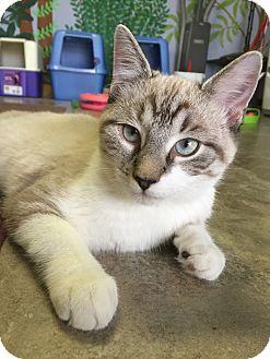 Siamese Kitten for adoption in Deer Park, Texas - Ringo