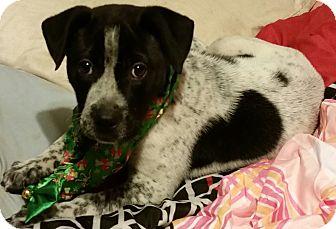 Pointer/Labrador Retriever Mix Puppy for adoption in Detroit, Michigan - Iggy