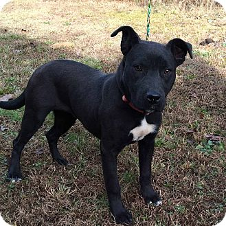Labrador Retriever/Pit Bull Terrier Mix Dog for adoption in Minneapolis, Minnesota - Dorothy