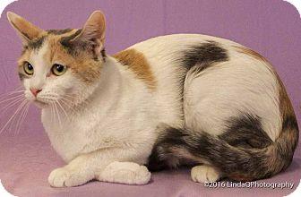 Calico Cat for adoption in Las Vegas, Nevada - Maaco