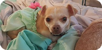 Chihuahua Mix Dog for adoption in Vacaville, California - Cookie
