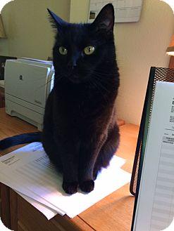 Domestic Mediumhair Cat for adoption in Roslyn, Washington - Sami
