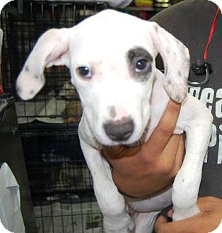 American Pit Bull Terrier Mix Puppy for adoption in Brooklyn, New York - Karina