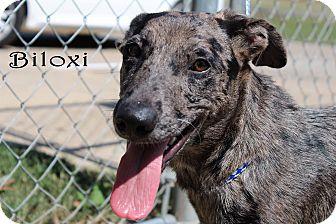 Catahoula Leopard Dog Dog for adoption in Texarkana, Arkansas - Biloxi