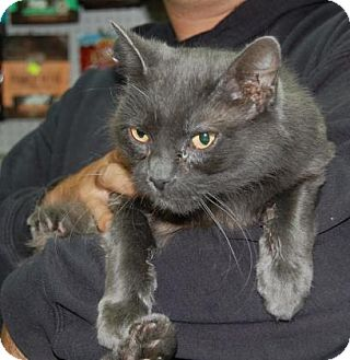 Domestic Longhair Cat for adoption in Brooklyn, New York - Zombie