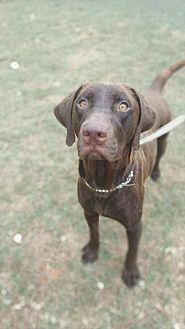 Labrador Retriever/Retriever (Unknown Type) Mix Dog for adoption in Enfield, Connecticut - Mariah