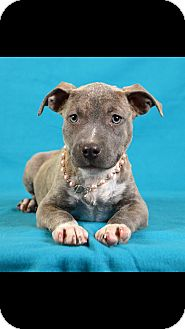 American Pit Bull Terrier Mix Puppy for adoption in Palmyra, Pennsylvania - Nola