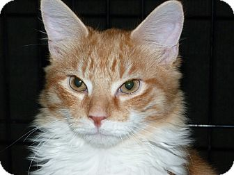 Maine Coon Kitten for adoption in Stafford, Virginia - Lion King
