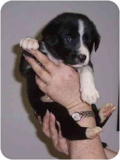 Labrador Retriever/Australian Shepherd Mix Puppy for adoption in Salem, New Hampshire - Buttkus
