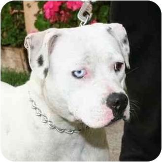 American Pit Bull Terrier Mix Dog for adoption in Berkeley, California - Blue Petunia